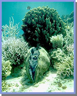 Giant clam jpg 36kb